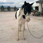 Sinatra, Tennessee Walker, Front View